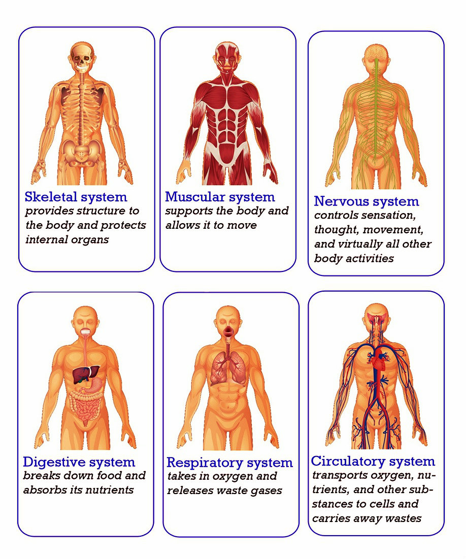 Human Body Systems 6804 Henrico 21