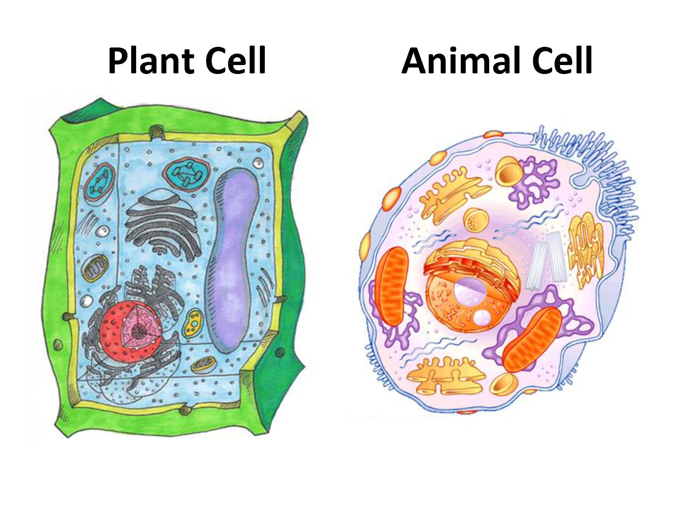 An Interview with a Cell – Cell Organelles Functions