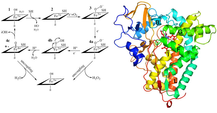 P450 catalytic cycle and the structure of P450cam.