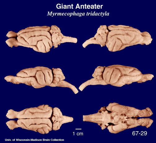 Giant Anteater Brain