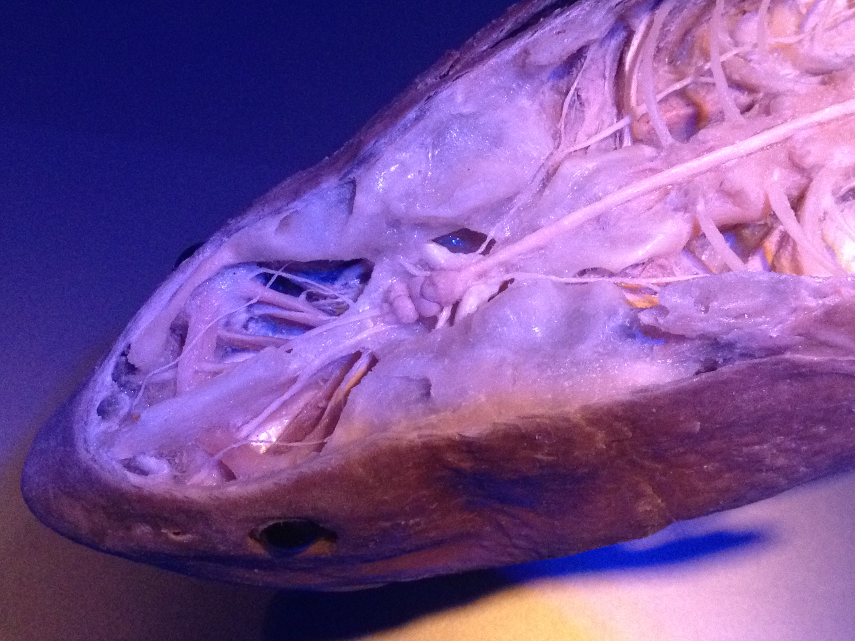 Shark Brain and Nerves