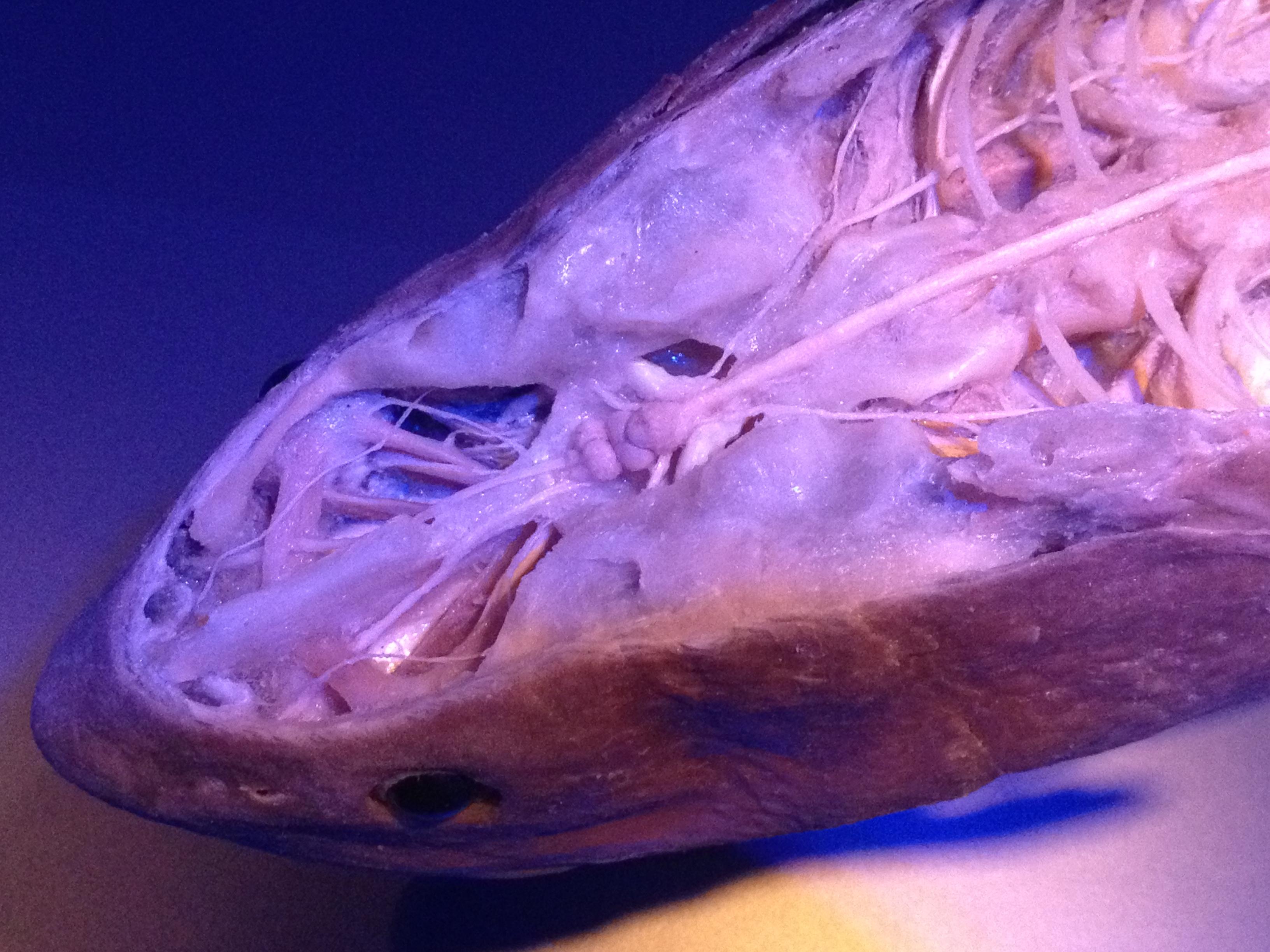 Shark Brain and Nerves