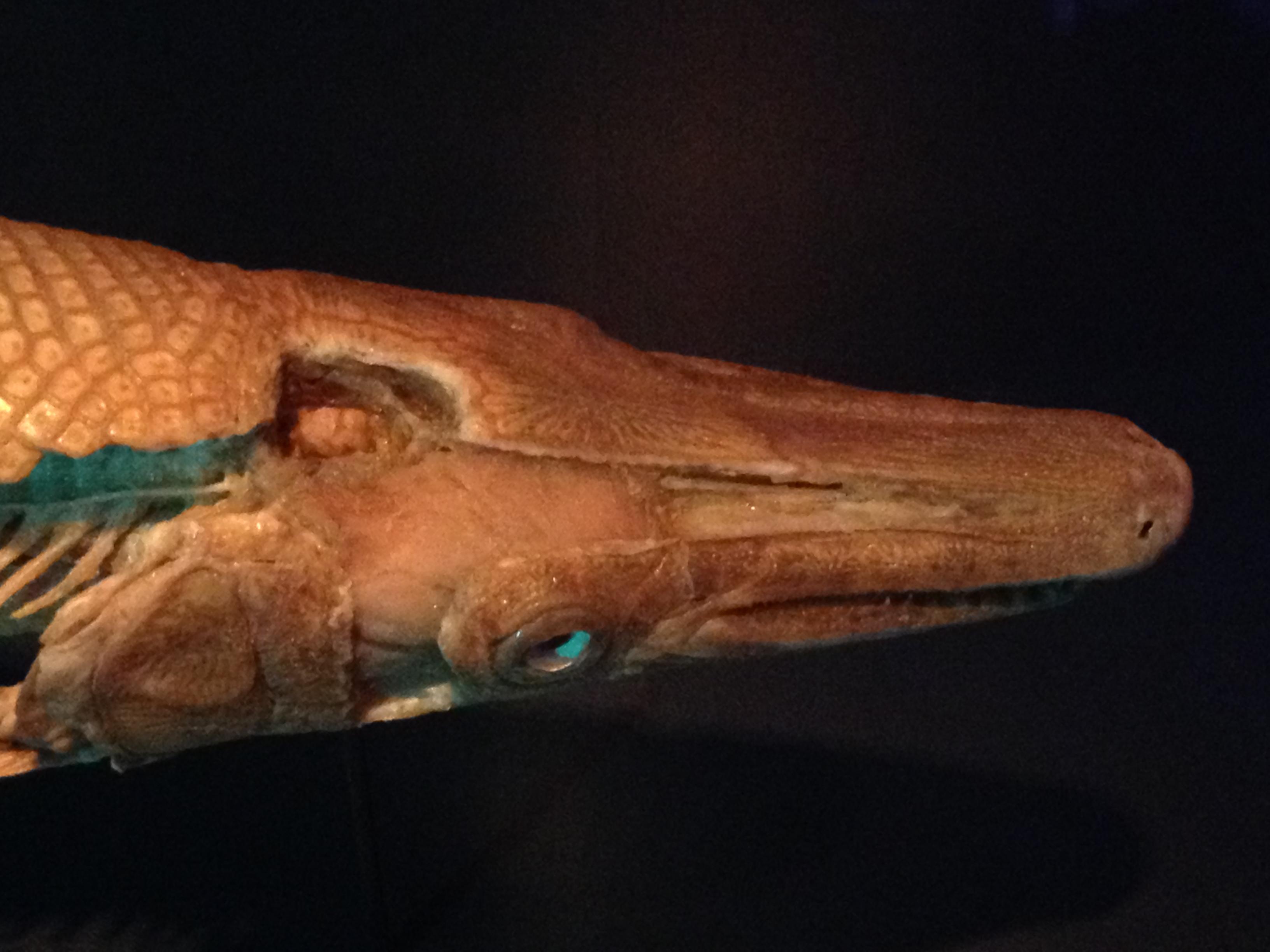 Alligator Gar Brain