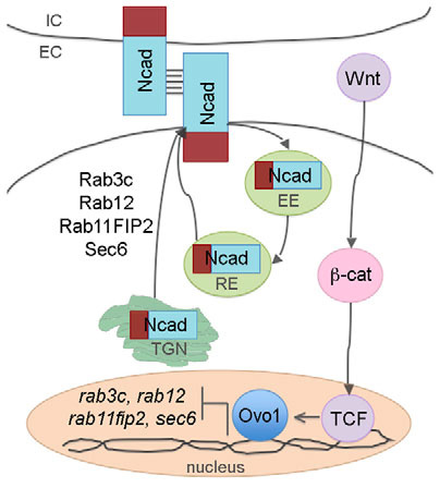 Regulation of N-cadherin (Ncad) trafficking in NC cells by Ovo1