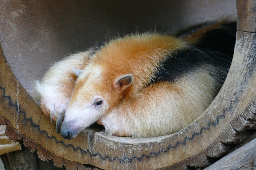 Anteater in a wooden barrel
