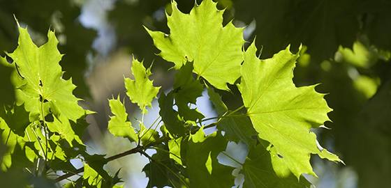 A maple tree in summer