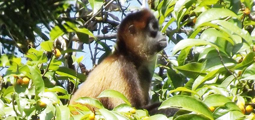 costa rica spider monkey