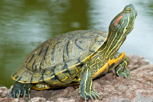 image of a red-eared slider turtle