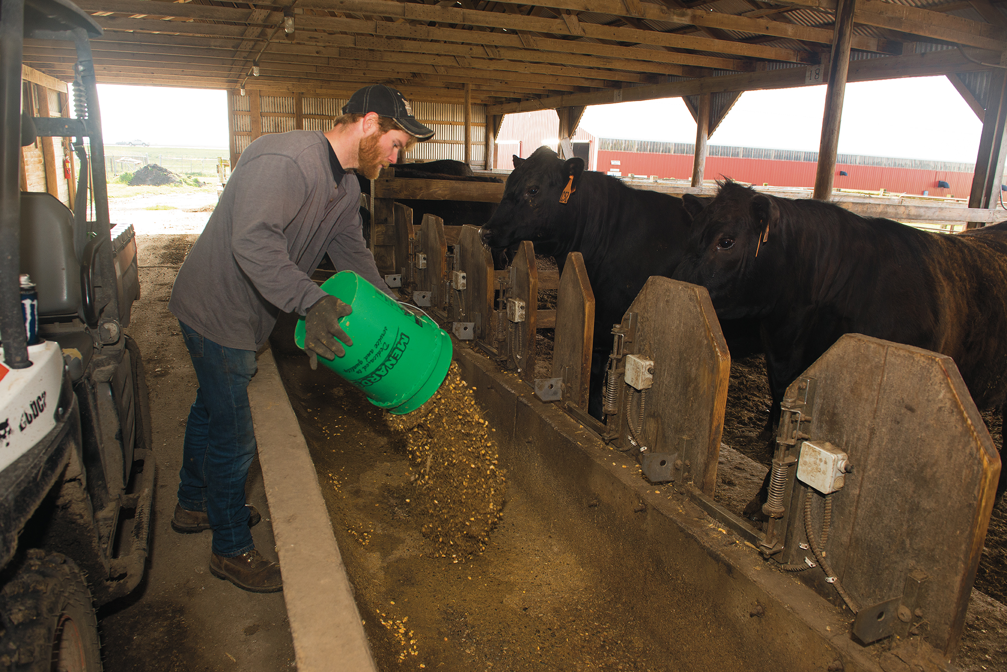 Parmenter pours the feed into bunks, from which the cattle ate throughout the day. During the study, Parmenter filled the bunks between 7 and 8 a.m. every day and allocated about 35 pounds of feed to each animal.