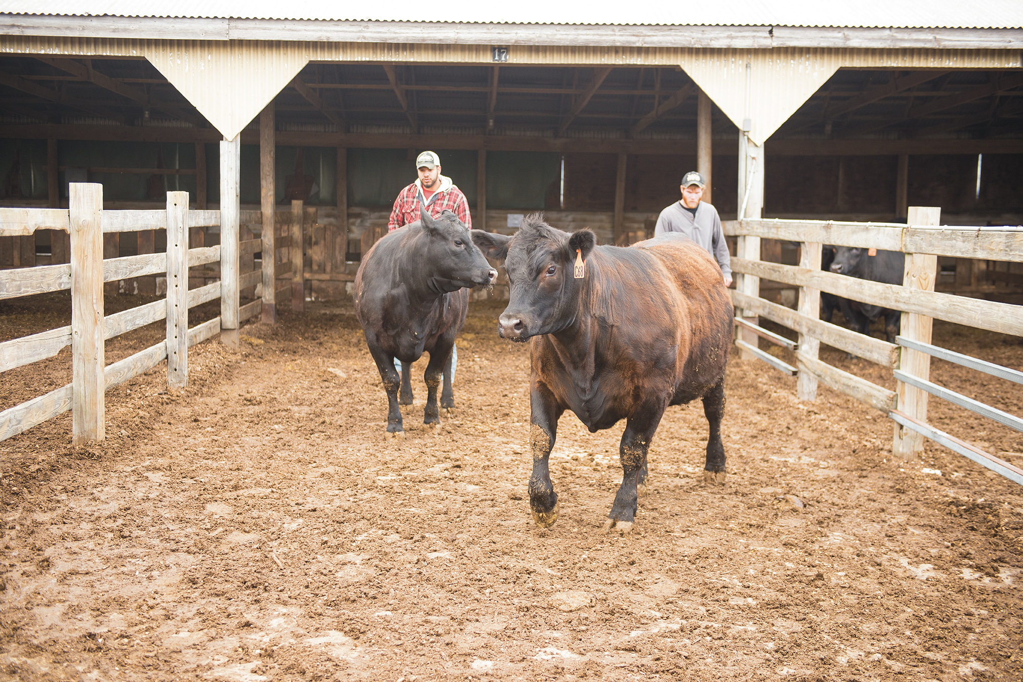 Brett Crite '16, then an undergraduate student and farm employee, and Parmenter usher cattle into a chute through which they were directed to a scale.