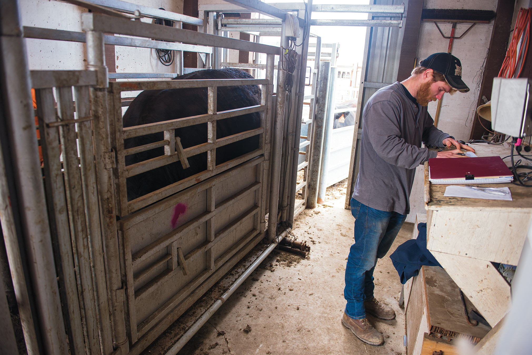 Each animal was weighed every 28 days during the study. The cattle grew, on average, to about 1,430 pounds by the time they went to market.