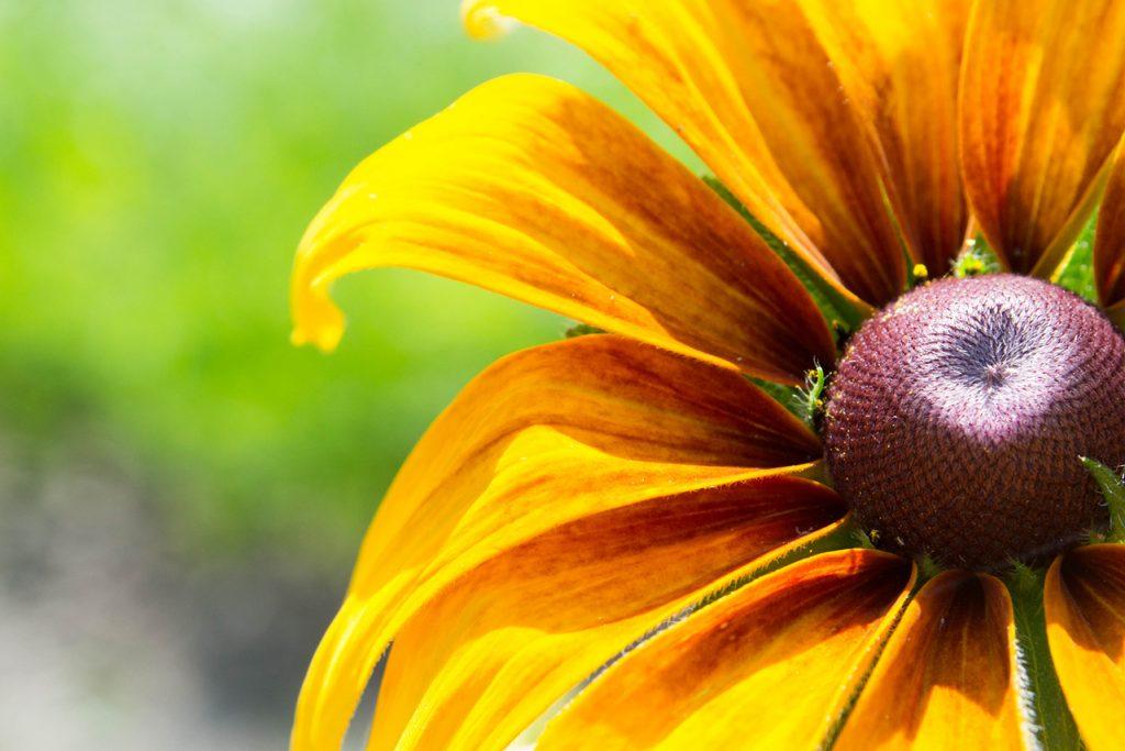 close-up up a black-eyed susan flower