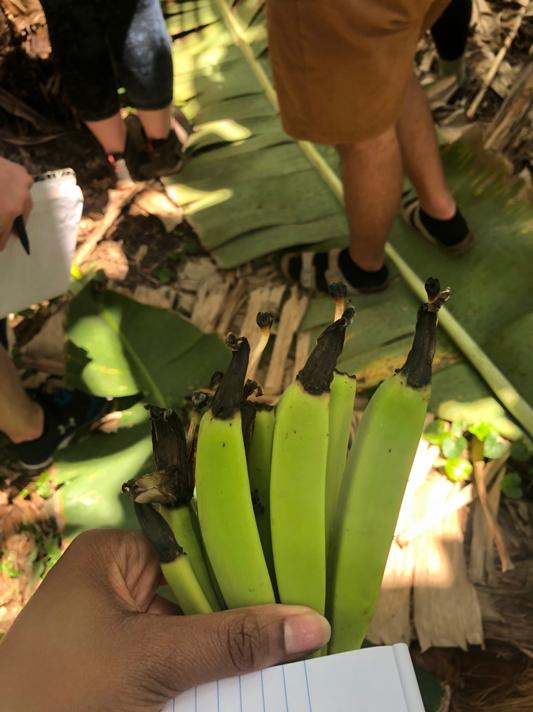 Small banana's that fell from a banana tree.