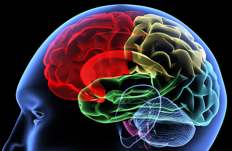stock graphic of brain