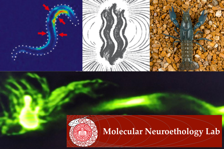 Vidal-Gadea work molecular neuroethology isu seal and several images