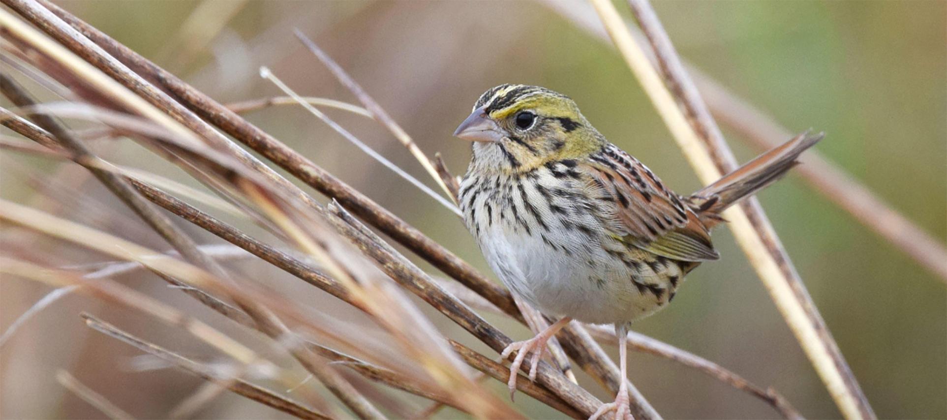 a sparrow on brush