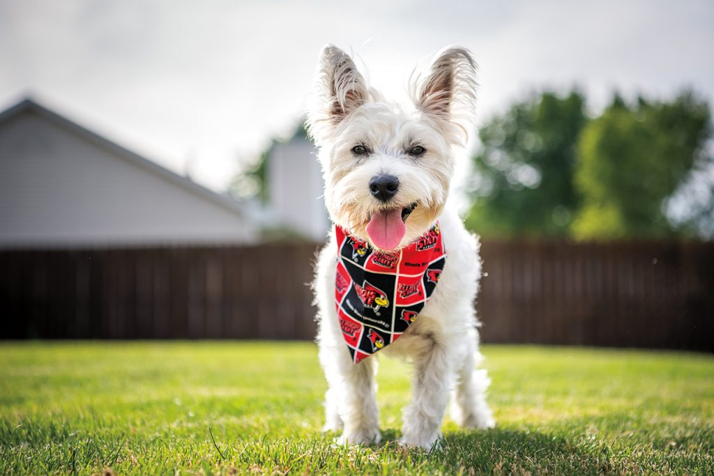 A dog wears a black and red Illinois State Redbirds bandana around his neck.