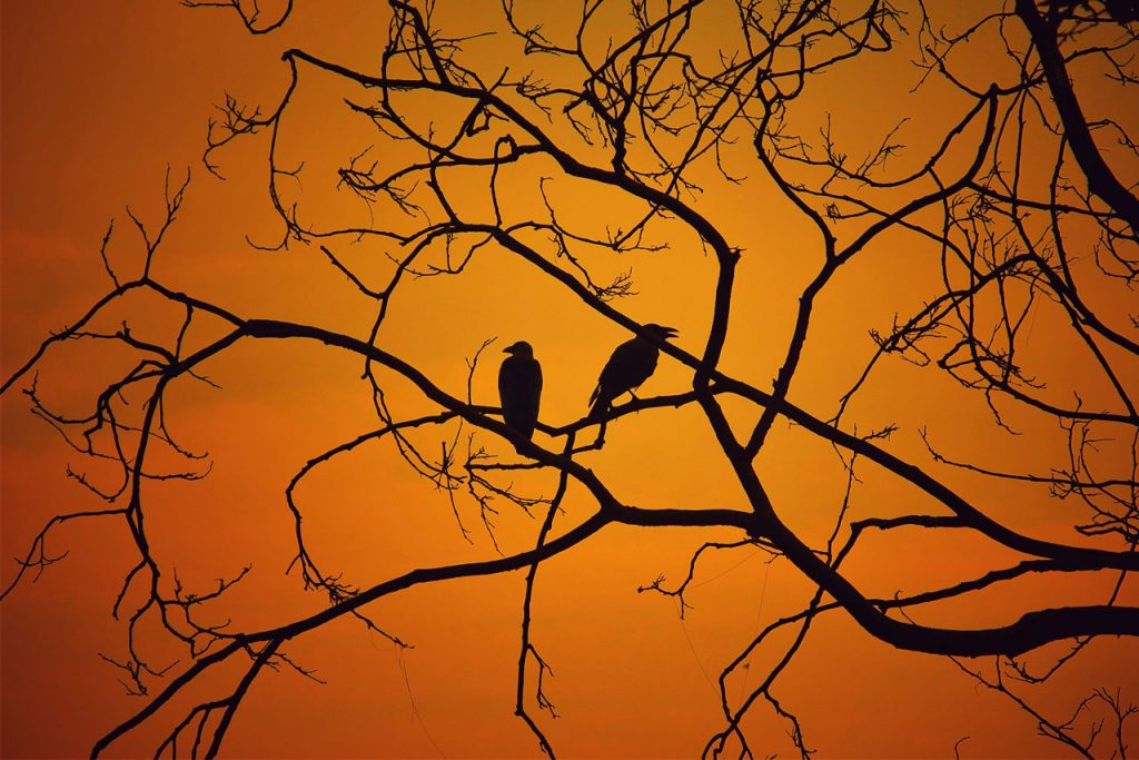 Silhouette of creepy birds sitting in a tree with an orange background