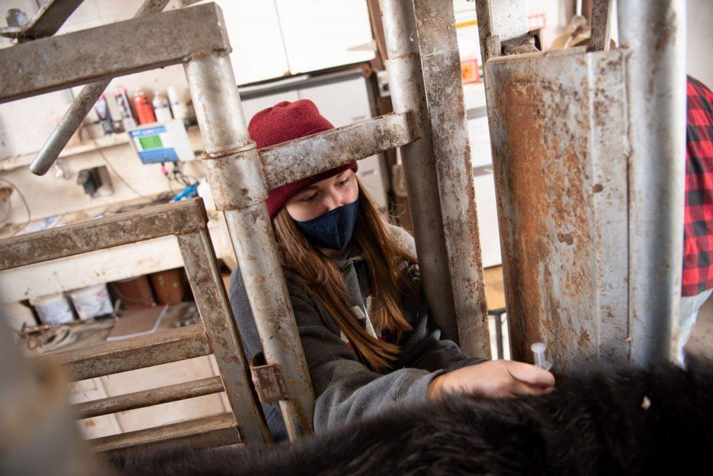 Female student vaccinates cattle