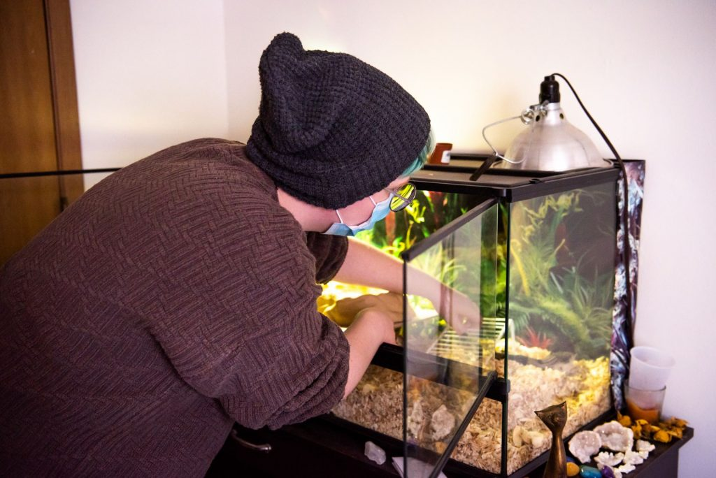 Chris Aaron reaches into their reptile terrarium to take care of their pet blue-tongued skink.