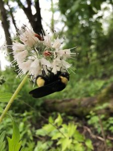 A bee pollinates a flower in the ISU Sugar Creek Savanna.