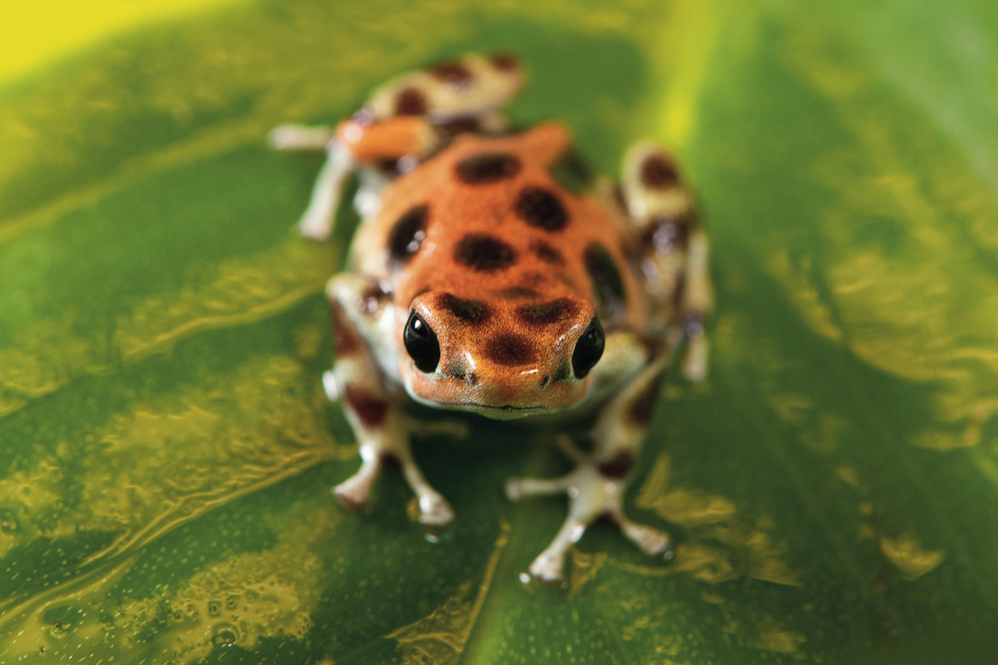 picture of poison dart frog on a leaf