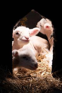 Newborn lambs at the farm