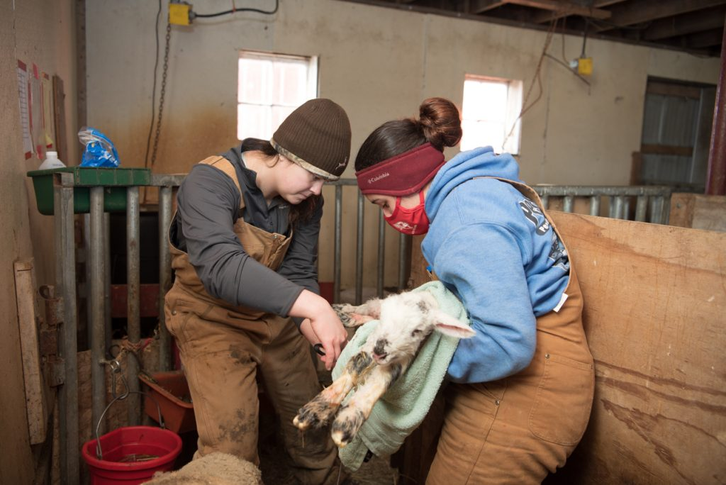 Julissa Navarrete, right, holds the newborn lamb as Alyssa Rook trims the umbilical cord and then sprays it with iodine.