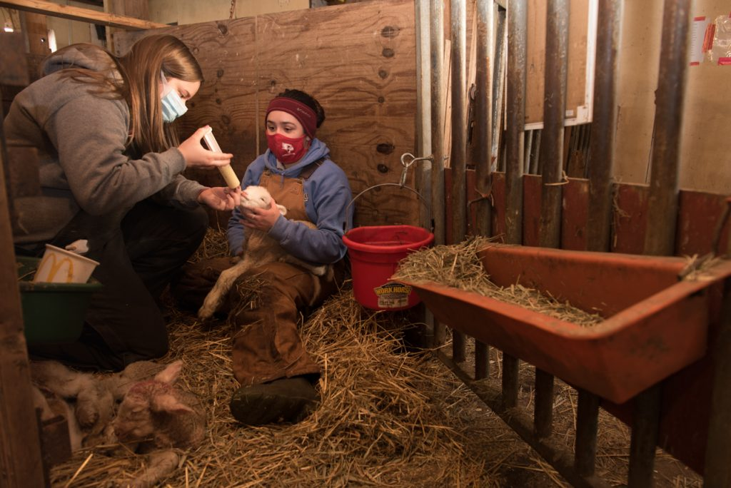 Julissa Navarrete holds the lambs head steady as Lauren Neuleib feeds the lamb colostrum.