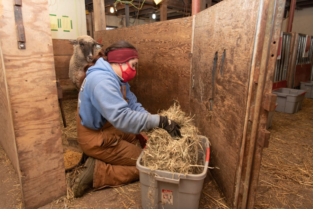 Julissa Navarrete places half of the ewe's hay for the day into their feed troughs in their pens.