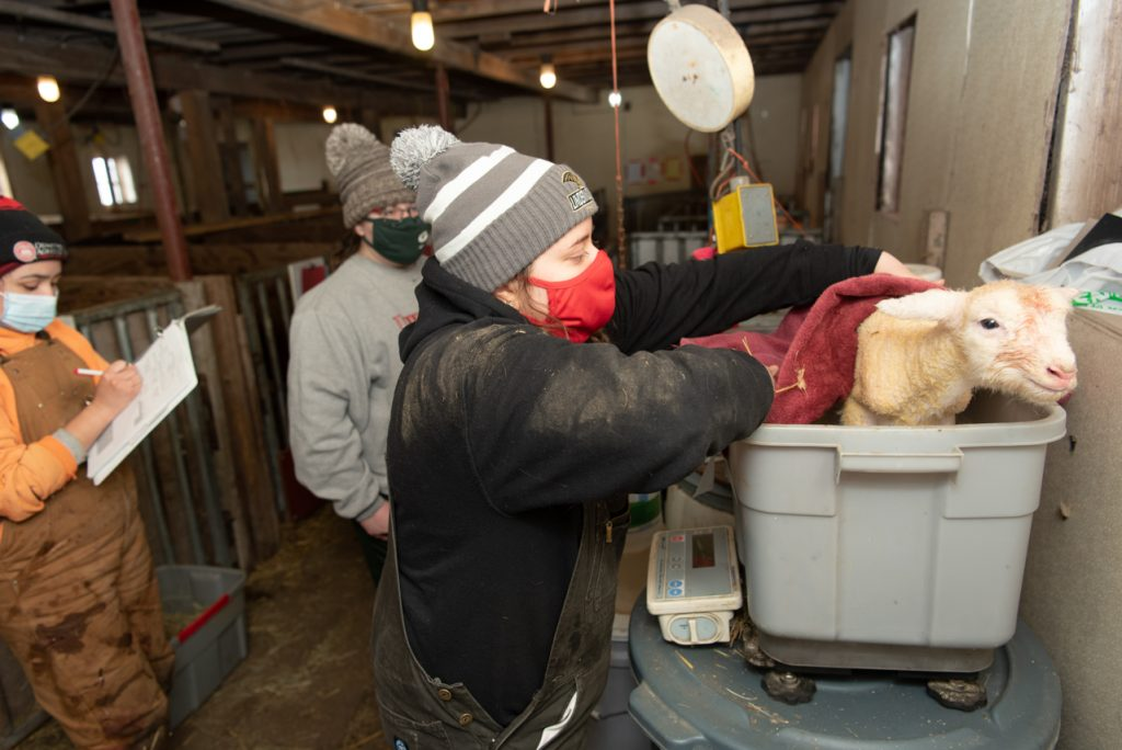 Lauren Neulib, right, places a newborn lamb onto the scale to get its birth weight as Julissa Navarrete, left, records the data in the binder.