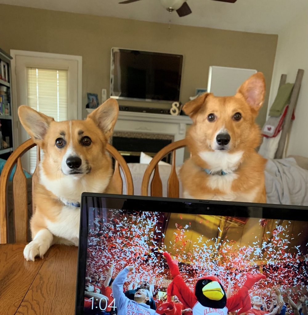 Samantha Meranda's two corgis like to watch her work at the kitchen table.