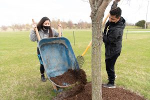 students using a wheelbarrow and rake to place mulch around a tree