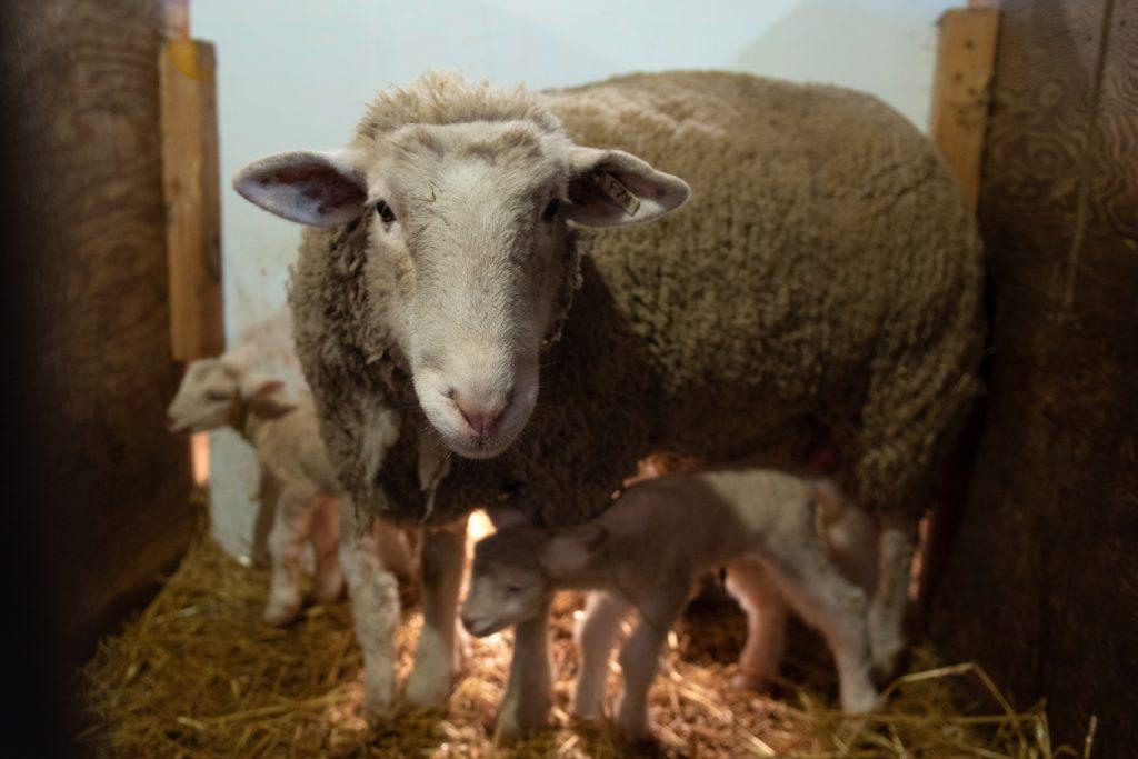 An ewe and her sheep inside a barn.