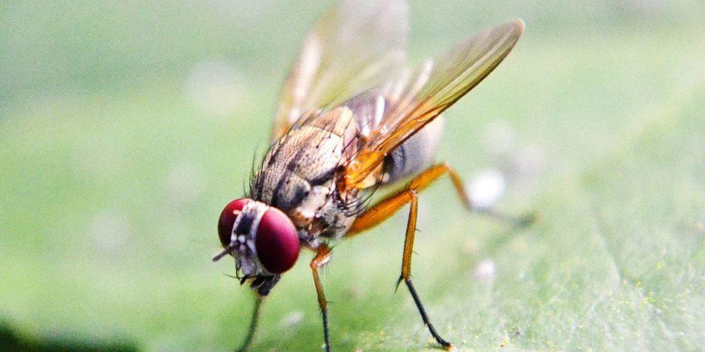 fruit-fly-219392_1920