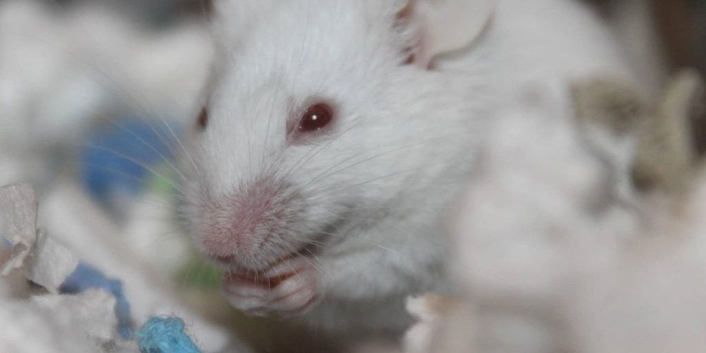 rodent-3177373_1920