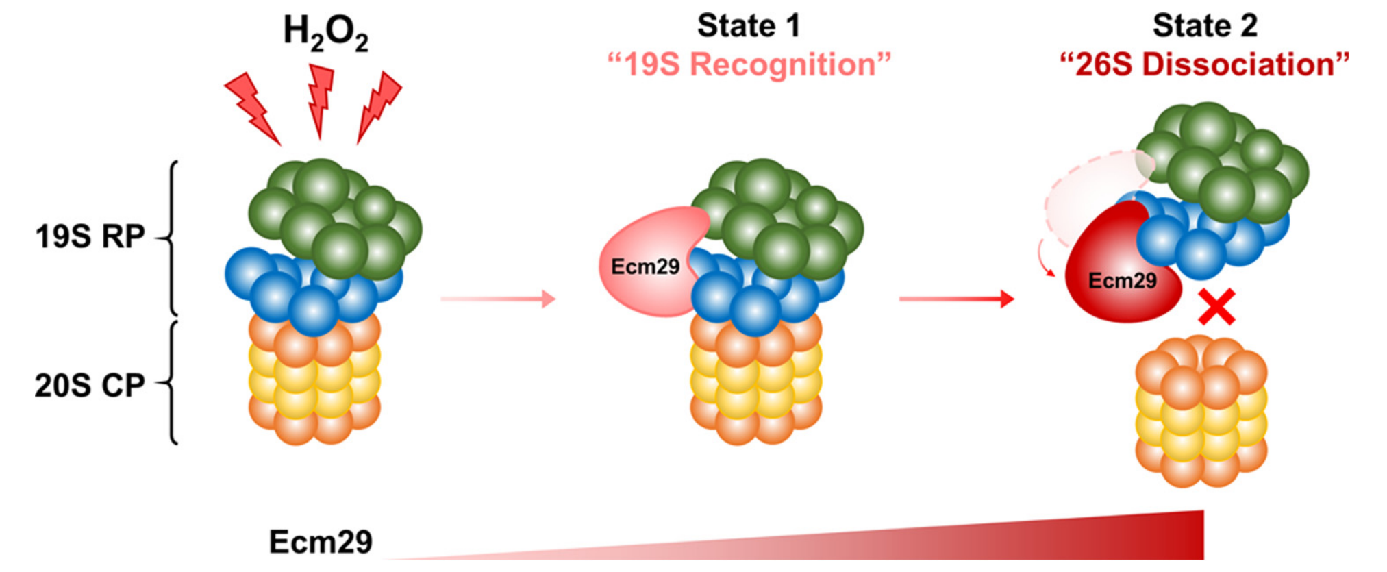 H<sub>2</sub>O<sub>2</sub>-dependent Proteasome Dissociation by Ecm29