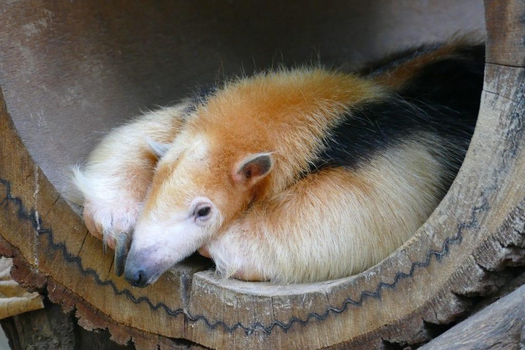 Anteater in barrel