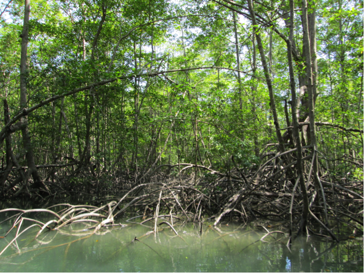 The seemingly twisted branches in the water are actually the roots of the mangrove trees