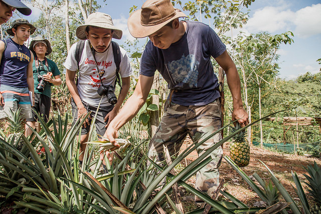 Markos and Erick investigate a pineapple crop.