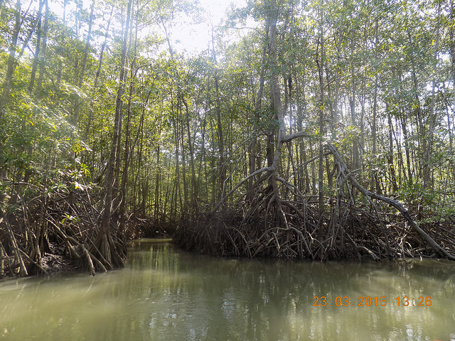 White Mangroves growing out of the water.