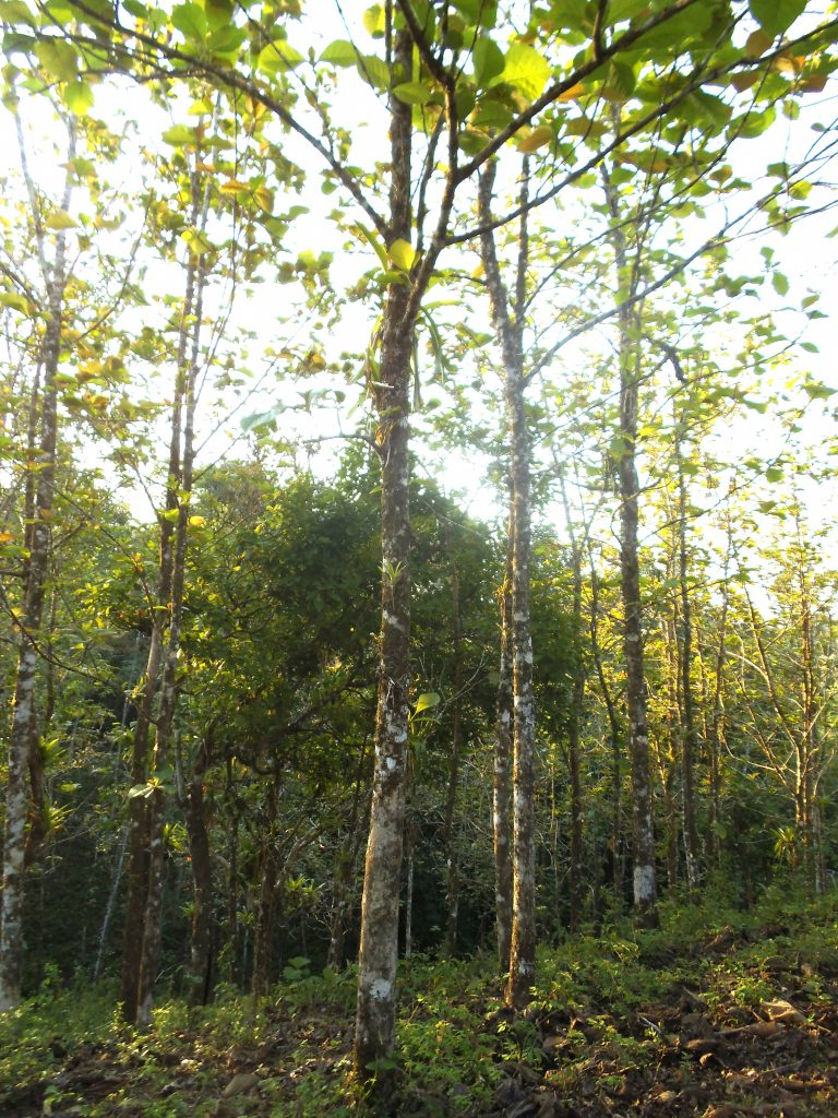 Teak trees in Siempre Verde, a farm located by the La Cangreja national park.