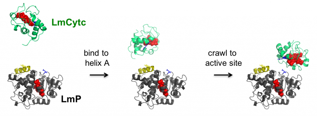 The association of LmP and LmCytc revealed through Brownian dynamics through a collaboration between the Poulos and Tobias groups at UC Irvine as part of the CSB Training Program. Reprinted with permission from Fields and Hollingsworth et al. 2015. Biochemistry. 54: 7272-7282