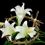 easter lily DT