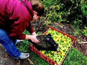Rising Stone Farm_Abby Heebner_sorting tomatillos